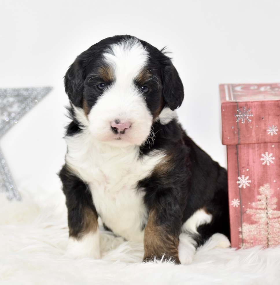 Available Puppies King Mountain Doodles